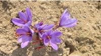 Fleur de Safran